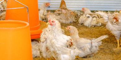 はちきん地鶏の養鶏場の画像