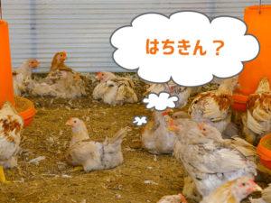 はちきん地鶏の画像